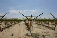 Vineyard Open Gable Trellis rendszer